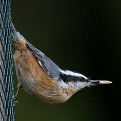Backyard Birds (nickinthegarden) Tags: redbreastednuthatch abbotsfordbccanada