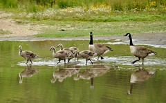 Canada Geese On A Family Outing (earlyalan90 away awhile) Tags: canadageese canadagoslings family lake wading waders wwt wildfowl wetlands rspb nikond700 nikonzoomlens wildlife nature photography washingtonwwt tyneandwear rural countryside