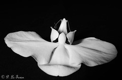 face d'Orchidée -2 (letexierpatrick) Tags: orchidée fleur flower floraison flowers fleurs fondnoir noir noirblanc noiretblanc black blackandwhite bw white blanc botanique nature nikond7000 nikon europe france explore proxiphotographie