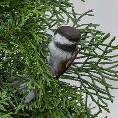 Backyard Bird (nickinthegarden) Tags: chestnutbackedchickadee abbotsfordbccanada