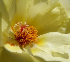 palline dorate (fotomie2009) Tags: portulacagrandiflora portulaca grandiflora succulent succulenta flora flower fiore stamen stami macro yellow