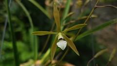 Encyclia linearifolioides (Kraenzl.) Hoehne 1938 (Cassano, A.) Tags: orchid orquidea flower flor nature encyclia encyclialinearifolioides
