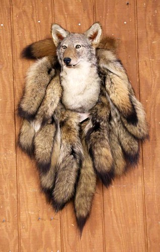 Taxidermy Coyote Wall Hanging ($291.20)