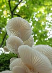 Porcelain Fungus - Oudemansiella mudica (Ellie Hilsdon) Tags: uk macro nature photography fungi wildlife autumn wild woodland mushrooms woods bokeh fungus porcelain newforest oudemansiella mucida rufusstone forest hampshire lyndhurst