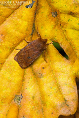 The Chestnut (Conistra vaccinii) (gcampbellphoto) Tags: conistra vaccinii chestnut moth insect macro wildlife nature woodland biodiversity gcampbellphoto north antrim outdoor