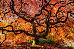 Big Red (KPortin) Tags: japanesemaple red orange autumn tree kubotagarden sunny seattle