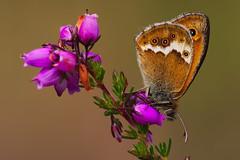 Coenonympha dorus (3) (JoseDelgar) Tags: insecto mariposa coenonymphadorus 425229778674123 josedelgar naturethroughthelens sunrays5 coth coth5 alittlebeauty