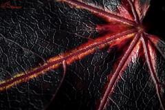 Black and Red (Gavmonster) Tags: gswphotography nikon d7500 nikond7500 sheffieldpark park gardens nationaltrust sussex uk unitedkingdom macro 105mm leaf autumn black red closeup micro veins