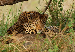 Time to Rest (DeniseKImages) Tags: wildlife africa bigcat cat leopard leopards grass bush africanbush southafrica nature wild animal animals wildanimals wildanimal yellow spots spot bigfive