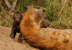 Hyena Pup (DeniseKImages) Tags: wildlife africa hyena hyenapup grass bush africanbush southafrica nature wild animal animals wildanimals wildanimal