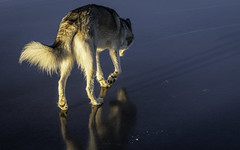 Hunting (I saw_that) Tags: cool uncool cool2 uncool2 uncool3 uncool4 cool3 uncool5 cool4 cool5 husky dog interestingness blue ice golden hour arctic pond