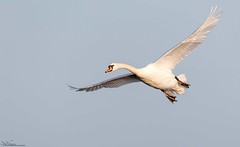 Incoming Mute Swan (Steve (Hooky) Waddingham) Tags: animal countryside coast canon bird british nature northumberland flight wild wildlife wader wildfowl photography planet