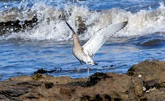 Settling Curlew (Steve (Hooky) Waddingham) Tags: animal countryside coast canon bird british nature northumberland flight wild wildlife wader wildfowl photography planet