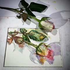 Day 1538.  The #rose #painting for today. #watercolour #watercolourakolamble #sketching #stilllife #flower #art #fabrianoartistico #hotpress #paper #dailyproject (akolamble) Tags: rose painting watercolour watercolourakolamble sketching stilllife flower art fabrianoartistico hotpress paper dailyproject