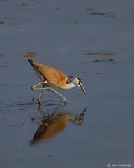 Lesser Jacana (leendert3) Tags: leonmolenaar southafrica krugernationalpark wildlife wilderness wildanimal nature naturereserve naturalhabitat bird lesserjacana coth5 ngc