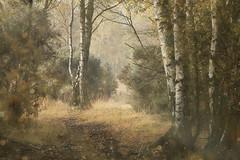 Autumn Woodland (aveyardphotography) Tags: autumn autumnal woodland trees nature silver birch path light strensall york double exposure