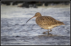 297/365 Curlew at The River Doon, Ayr (B Ryder) Tags: nikon d500 sigma 120400mm lens curlew bird nature wildlife ayr river doon south ayrshire scotland colour