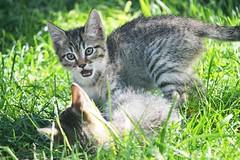 Kittens playing - Sardinia (En memoria de Zarpazos, mi valiente y mimoso tigre) Tags: kittens kitten cat tabby playing straykittens garden grass giardino herba jardín jugando gatitos gattini cerdeña sardegna sardinia nikon