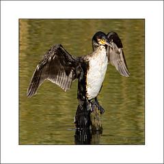 Cormorant wings (prendergasttony) Tags: bird rspb reflection nikon nature tony prendergast d7200 elements water pennington wildlife wings pose birdwatching birding border