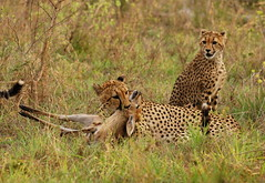 Cheetah Mother Suffocating an Impala, Cubs Stand By (DeniseKImages) Tags: wildlife africa bigcat cat cheetah cheetahfamily cheetahhunting grass bush africanbush southafrica nature wild animal animals wildanimals wildanimal yellow spots spot