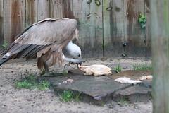 Vautour fauve (CHRISTOPHE CHAMPAGNE) Tags: 2019 france landes labenne zoo vautour fauve
