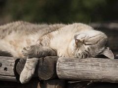 Détendu ... **--- ° (Titole) Tags: cat relaxed titole nicolefaton sleeping thechallengefactory