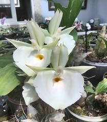 Catasetum pileatum 'Carmen' (F.Setembrino) Tags: orquidea orchid catasetum