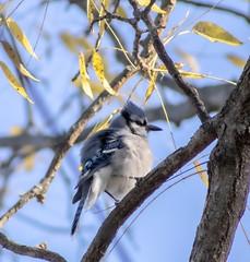 Blue Jay  on a Branch (mahar15) Tags: jay outdoors wildlife bluejay bird nature