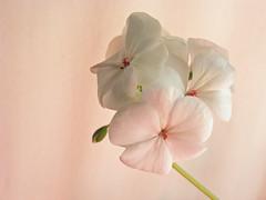 Blushing (kfocean01) Tags: flower flowers pink nature closeup summer painterly art awardtree
