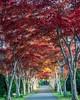 Autumn leaves tunnel (robokoppi 49) Tags: 紅葉 平岡樹芸センター 札幌 北海道 日本 autumnleaves sapporo hokkaido japan