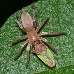 Sac Spider -  Arachtober 24 (jciv) Tags: spider mission texas unitedstatesofamerica file:name=dsc02813 macro insect arachnid predator prey