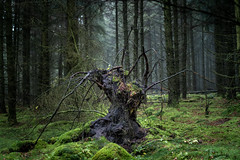 Woodland Scarecrow (daniel_munch) Tags: nibe northdenmarkregion denmark a6400 tree woodland forest green autumn creepy hiking backpacker roots stump moss morning dawn fog