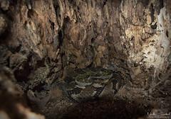 Timber Rattlesnake (Nick Scobel) Tags: timber rattlesnake crotalus horridus venomous snake illinois