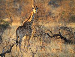 Giraffe in the sunlight in South Africa (` Toshio ') Tags: animal southafrica giraffe toshio africa sunset sunlight nature mammal bush safari klaserie canon7d klaserieprivatenaturereserve moritiprivatesafaris trees