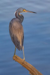Out on a Limb (SDRPhoto321) Tags: gatorland gatorland2019 tricoloredheron heron birding bill black beach bright beak canon color cloud dof depth field eos expression eye elevated eyes exposure florida feathers festival wetlands garden haven inspiring inspire intercoastal ice light lands line lamp mighty mural new nature national neck nesting outdoor outside odd perspective painting reflection run sunny sun sunrise tree trees urban wet worth water