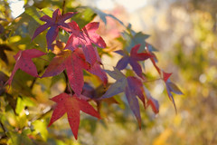 Japanese Maple tree leaves (MarcBphotos) Tags: japanese maple tree leaves nature bokeh f14 35 fuji colors fall warm light red yellow green
