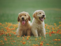 Adorable animal breed - Credit to https://homegets.com/ (davidstewartgets) Tags: adorable animal breed canine cute dog domestic field flowers fur golden retriever grass little looking mammal pedigree pet portrait puppy purebred young