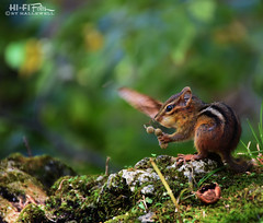 Chip (Hi-Fi Fotos) Tags: chipmunk forest animal critter cute fall meal eating food small striped rodent sciuridae woods nature sigma 18250 nikon d7200 dx hififotos hallewell