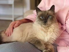 Gracie (monique.m.kreutzer) Tags: lilacpointsiamese siamese cat blueeyes