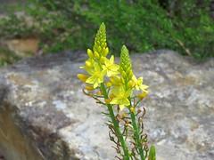 Bulbine bulbosa 3 (mncbirds) Tags: the blue mountains national park nsw australia aushp barry m ralley barrymralley bulbine bulbosa lily