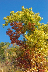 DSC_2973 (photodittmer) Tags: mttom pioneervalley massachusetts fall autumn tree leaf leaves color orange red yellow sky blue mountain mountian