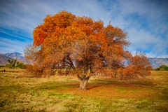 Bishop, California (RS2Photography) Tags: bishop fall autumn california cali tree trees field owensvalley easternsierra colors colours leaves leaf natur nature naturephotography landscape smugmug flickr sky orange new yellow art rural life eos countryside cielo