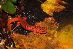 Northern Red Salamander, Bucks County, PA, October 2019 (sstaedtler) Tags: salamander northern red nature amphibians outdoors wildlife conservation animal buckscountypa pennsylvania