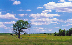 Clows. (Irrational Photography) Tags: retro vintage antique hipster old analogue analog picture photo film grain noise slr 35mm 35 135 montreal quebec city canada white sky cloud photography tree leaf leaves saint clow cow field country blue green grass wheat farm barren corn cornfield day beautiful fujifilm superia xtra 400 canon 3570mm f3545 summer landscape