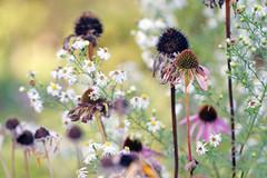 Echinacea, Coneflower (Mah Nava) Tags: echinacea coneflower aster autumn herbst