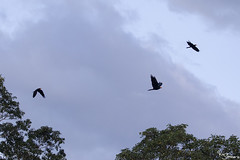 Daptrius ater (Kusi Seminario) Tags: raptor rapaz bird ave wildlife rainforest selva jungle amazon amazonia amazonas nature outdors canon tambopata madrededios peru perú southamerica sudamerica travel 7dmarkii 100400