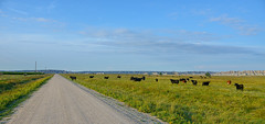 Roam Free (risingthermals) Tags: south dakota sd united states north america usa country prairie plains badlands distance horizon view scenic rural cattle grazing free range roaming land gravel dirt road unpaved power lines posts open wide expanse landscapes sky blue clear clouds