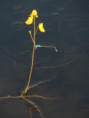 Unidentified blue damselfly 2 (SierraSunrise) Tags: thailand phonphisai nongkhai isaan esarn animals insects damselfly damselflies blue plants flowers yellow aquatic wetland