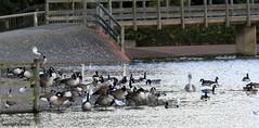 J78A0824 (M0JRA) Tags: birds water lakes views people walks clouds sky parks rufford notingham animals squirrels flying robins ducks geese abbey fields buildings trees