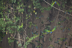 Blue-headed parrot (Kusi Seminario) Tags: loro colpa clayleak bird ave wildlife rainforest selva jungle amazon amazonia amazonas nature outdors canon tambopata madrededios peru perú southamerica sudamerica travel 7dmarkii 100400